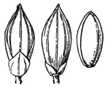 File:Panicum philadelphicum (as Panicum tuckermanii) HC