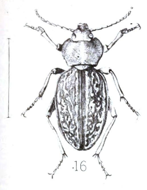 File:Psammodes caelatus, 16, Annale van die Suid