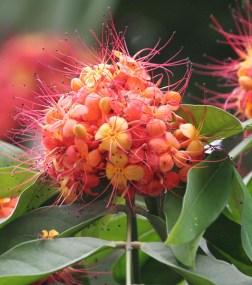 Sita-Ashok (Saraca asoca) flowers in Kolkata W IMG 4146