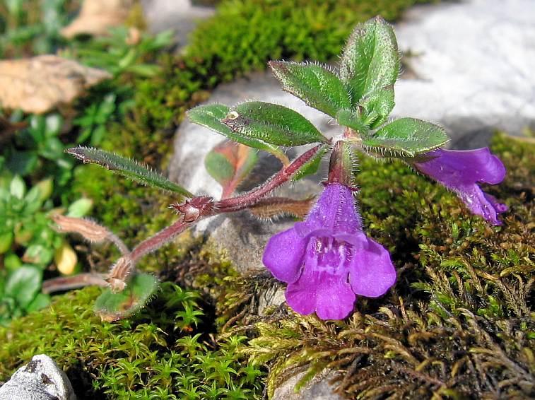 Acinos alpinus  Wikipedia la enciclopedia libre
