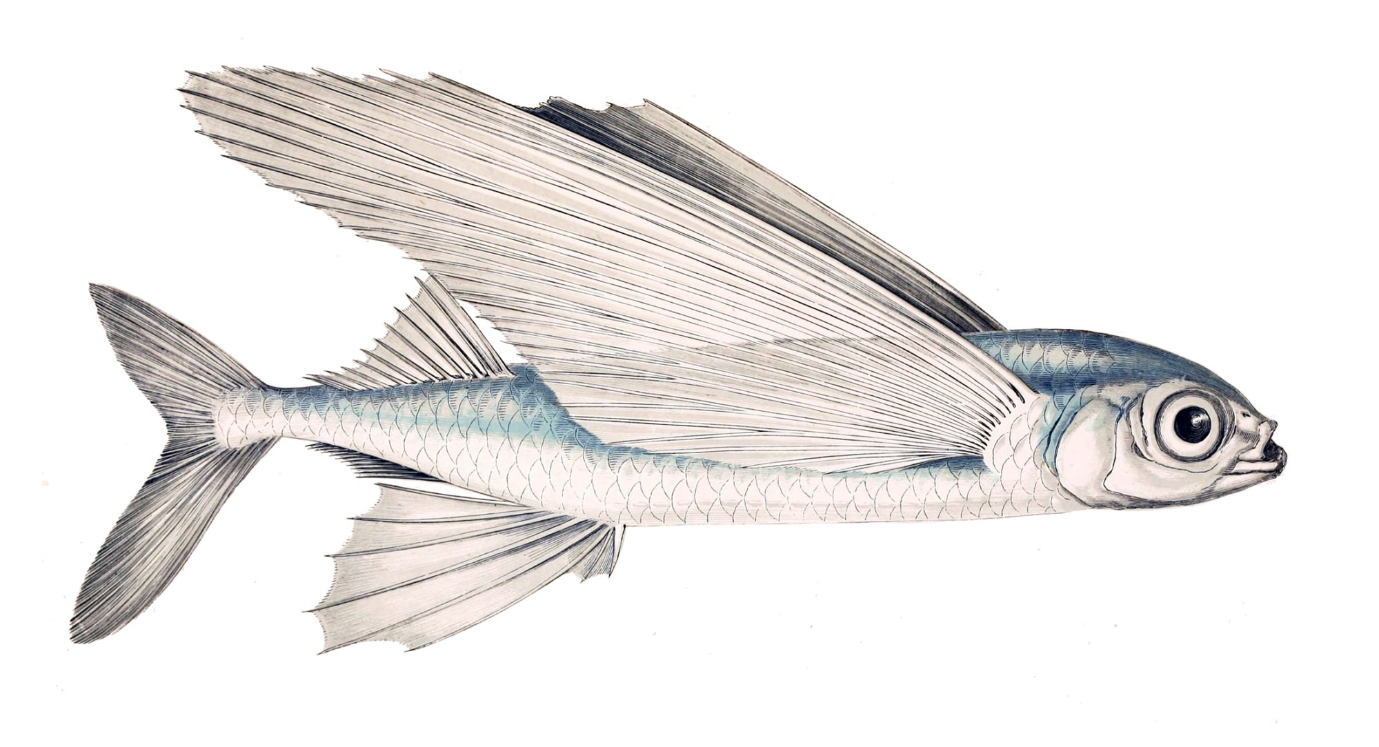 hight resolution of flying fish diagram wiring diagram dom flying fish toy flying fish diagram