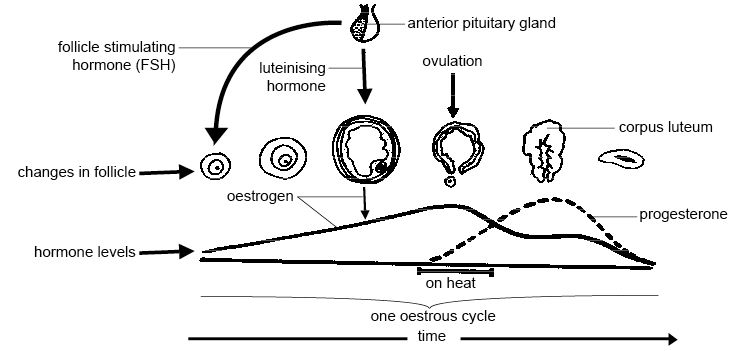 estrous cycle in cattle diagram