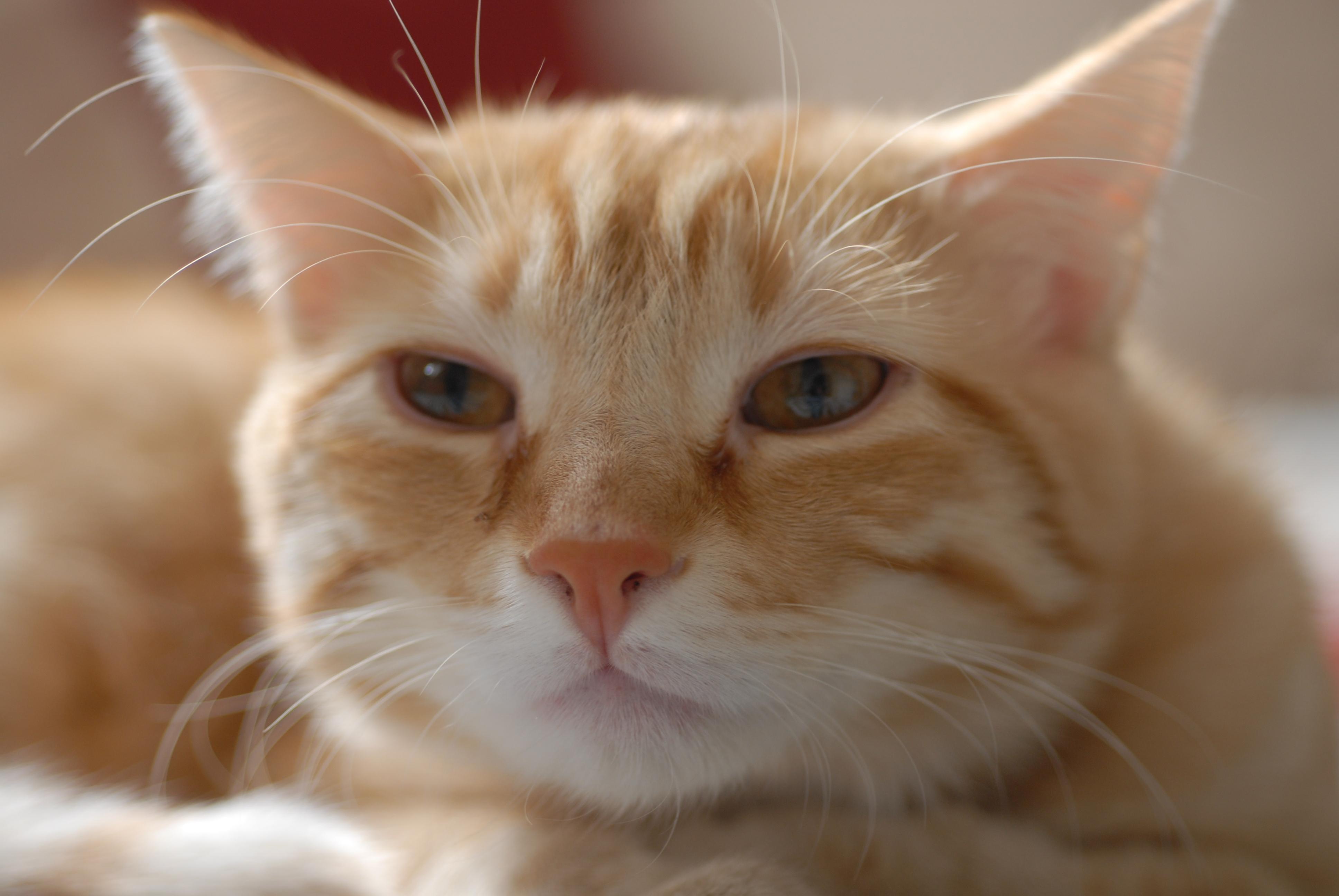 Fileeuropean Shorthair Portrait Garfieldjpg Wikimedia