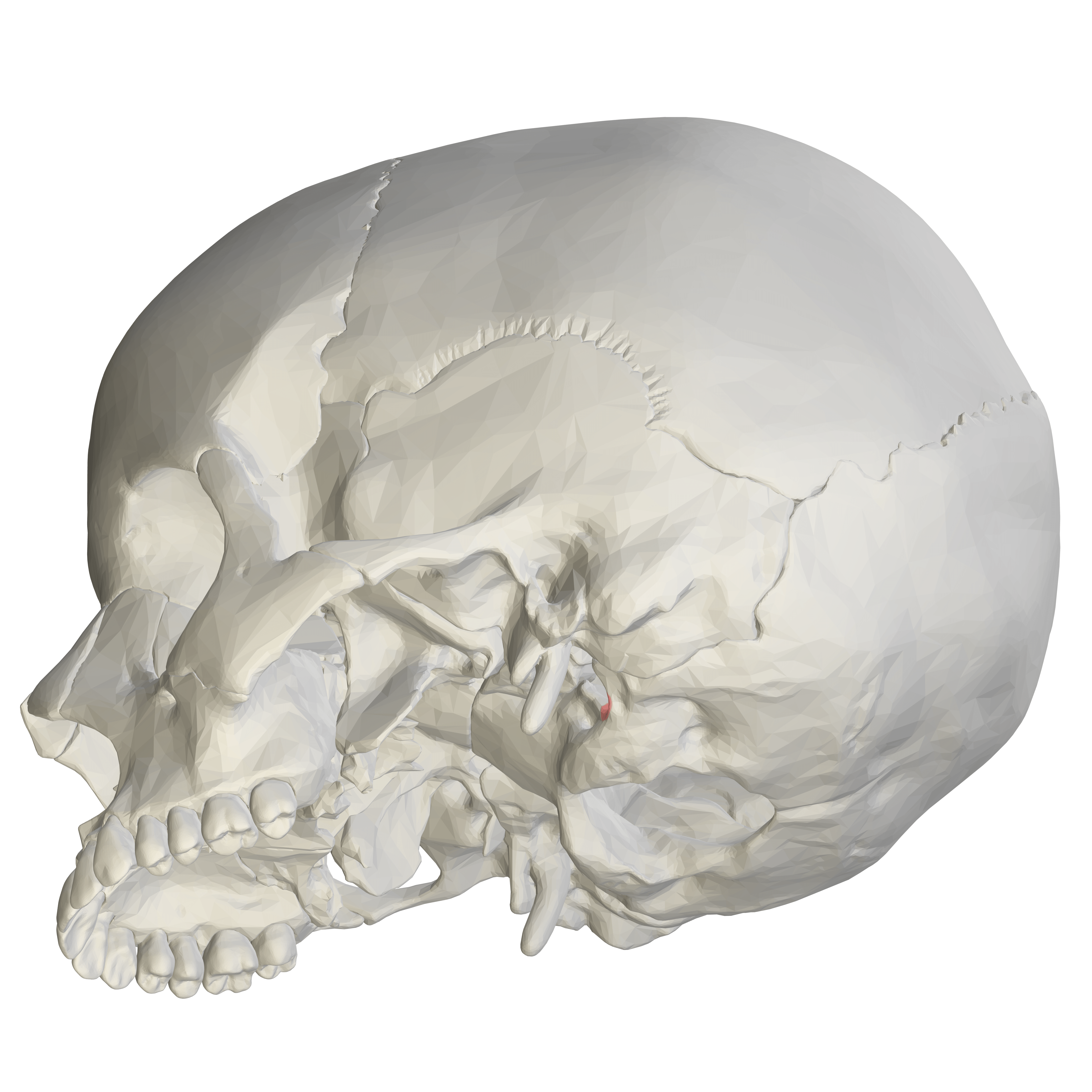 File Jugular Notch Of Occipital Bone11