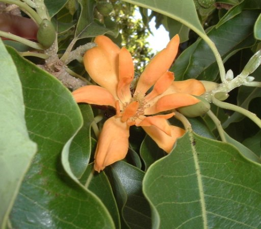 Magnolia chempaka