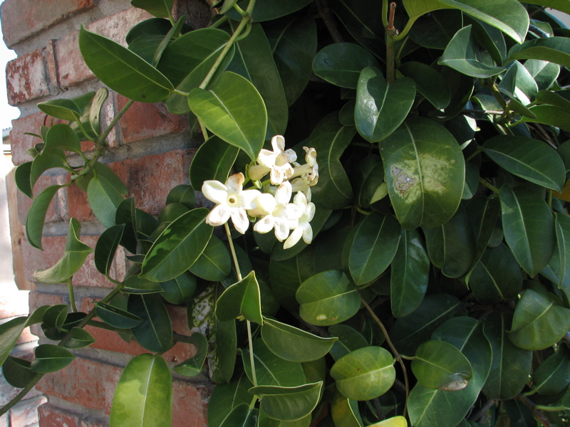 Stephanotis  Wikipedia