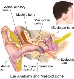 file ear anatomy and mastoid bone png [ 1500 x 1500 Pixel ]