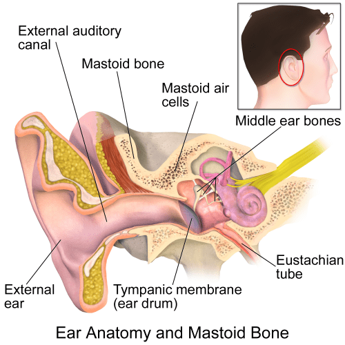 small resolution of file ear anatomy and mastoid bone png