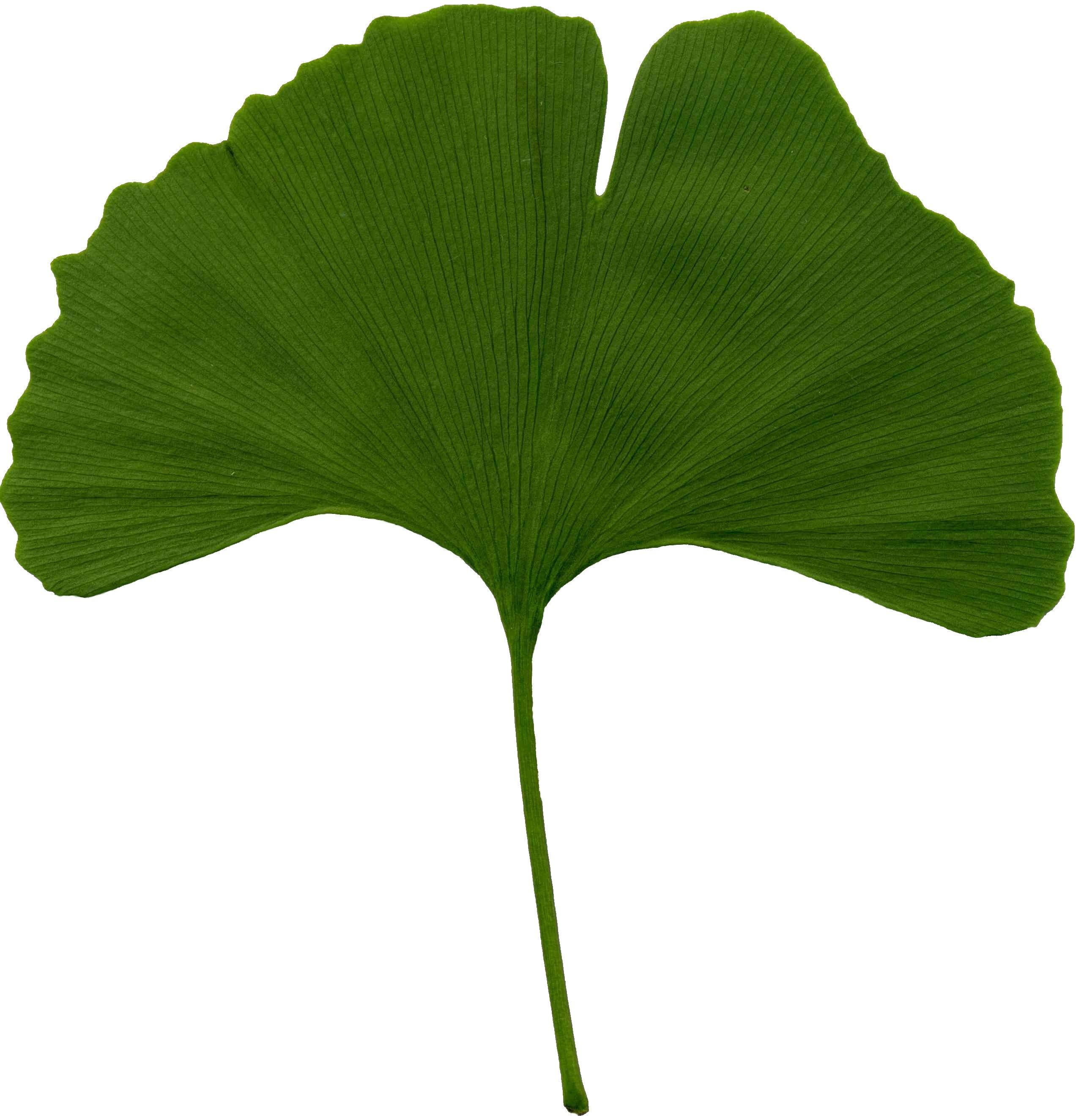 https://i0.wp.com/upload.wikimedia.org/wikipedia/commons/3/32/Ginkgo_biloba_scanned_leaf.jpg