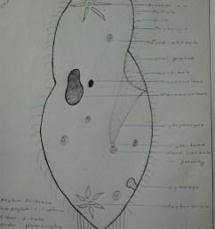 file paramecium caudatum hand labeled jpg [ 1536 x 2048 Pixel ]