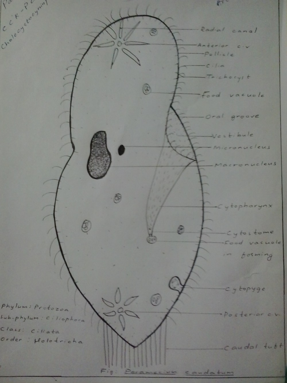 medium resolution of file paramecium caudatum hand labeled jpg