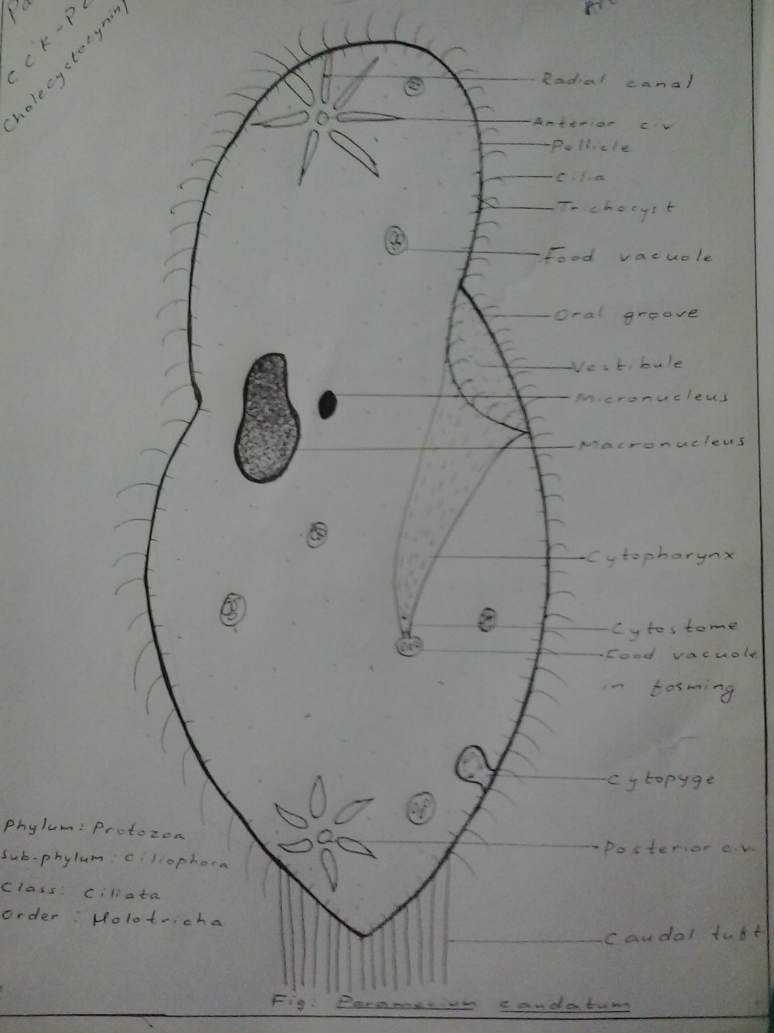 hight resolution of file paramecium caudatum hand labeled jpg