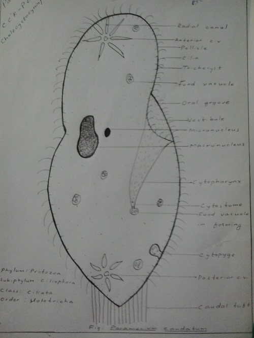 small resolution of file paramecium caudatum hand labeled jpg