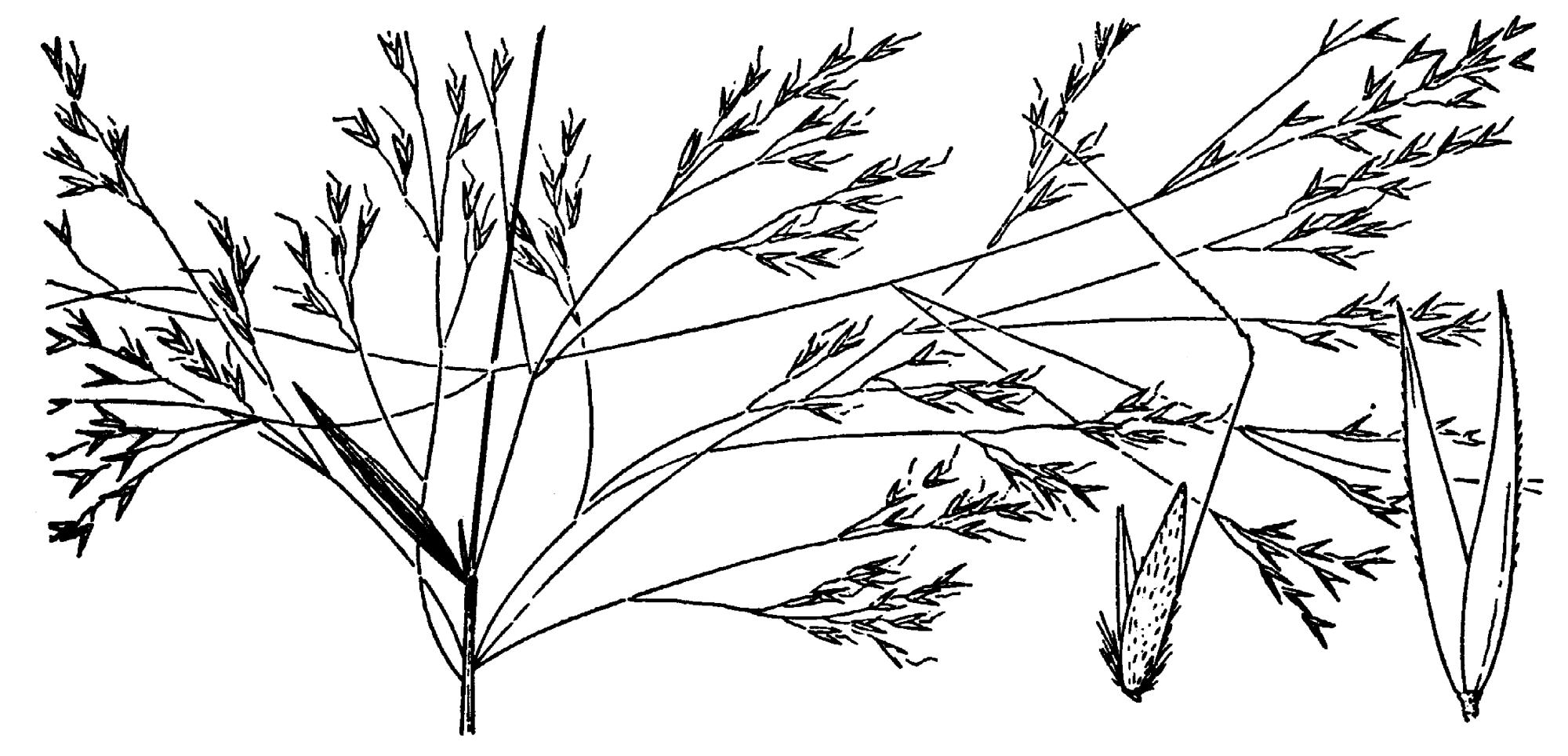 File Agrostis Avenacea Drawing