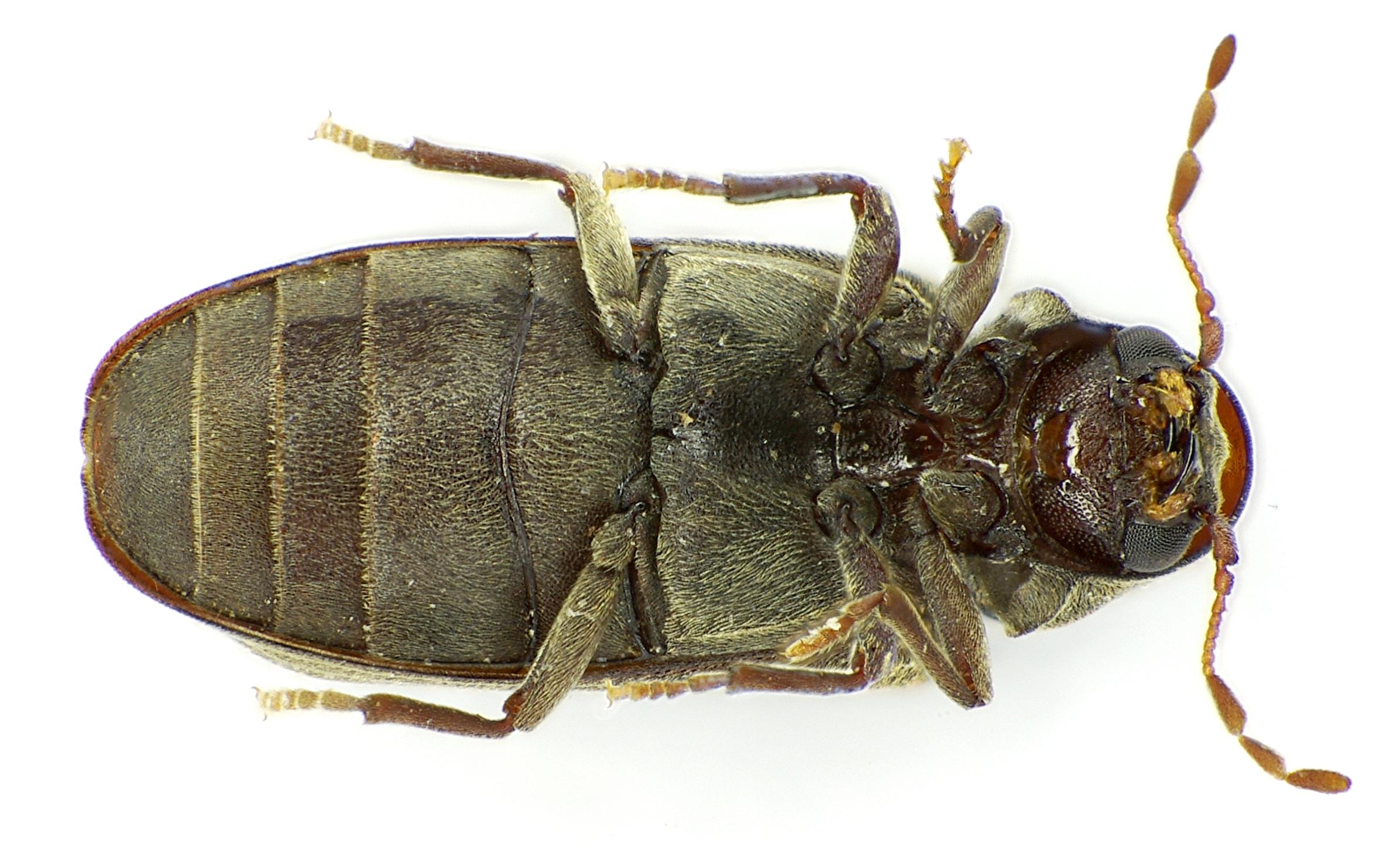 Species Anobium Punctatum Furniture Beetle