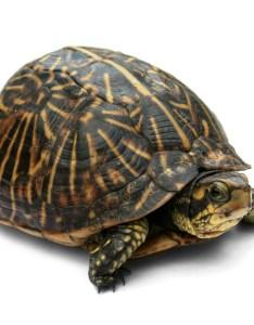 Box turtle also wikipedia rh enpedia