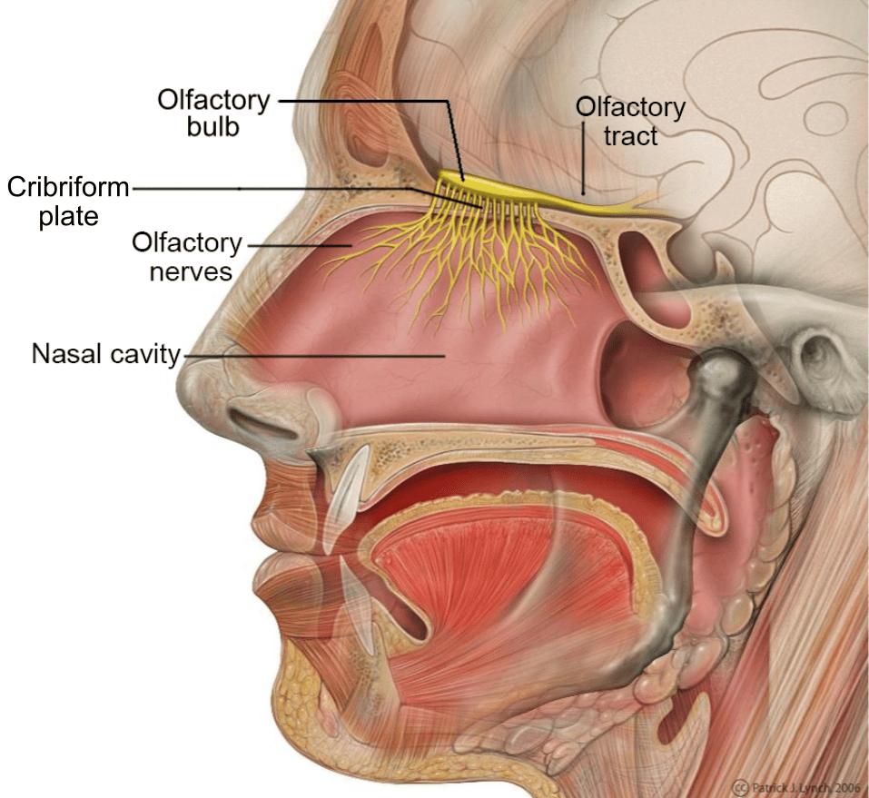 medium resolution of nose diagram mucu