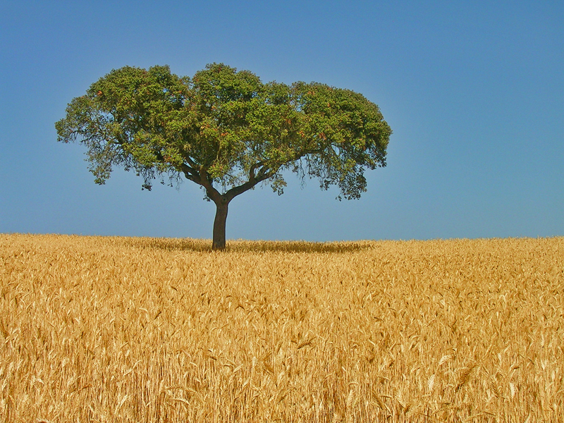 File:Alentejo oak on wheat field.jpg