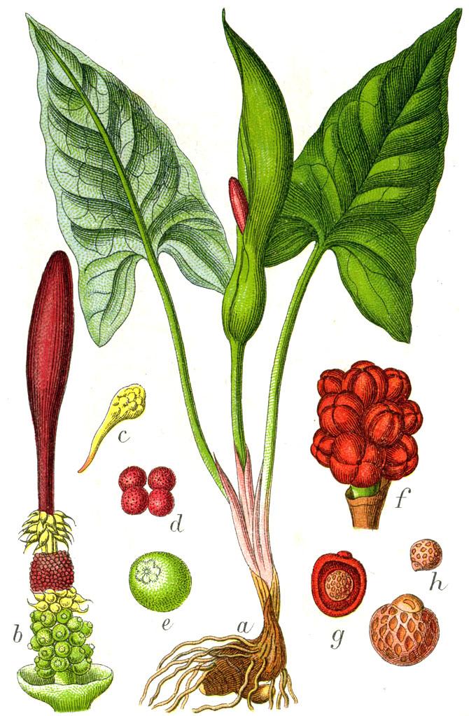 Arum maculatum  Viquipdia lenciclopdia lliure