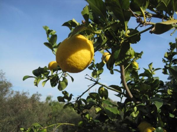 Citrus Fruit Tree Fertilizer