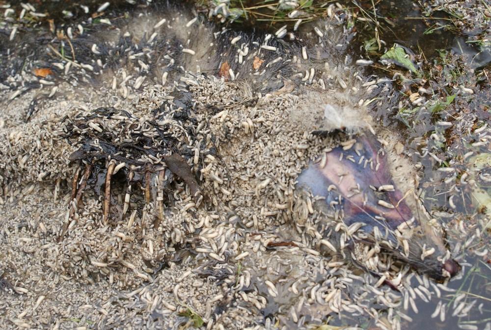 medium resolution of maggot