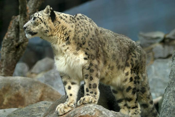 File:Lightmatter snowleopard.jpg