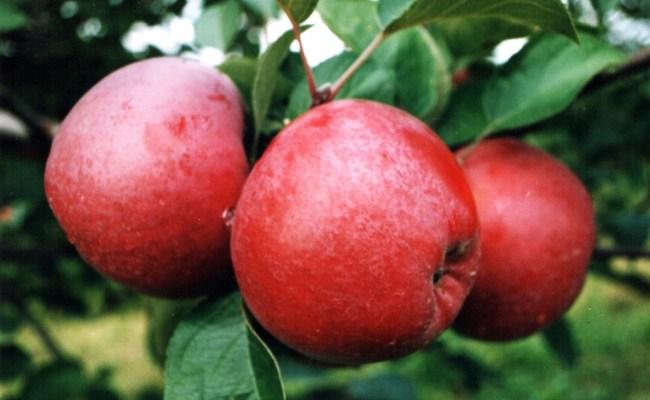 Spartan Apple Wikipedia