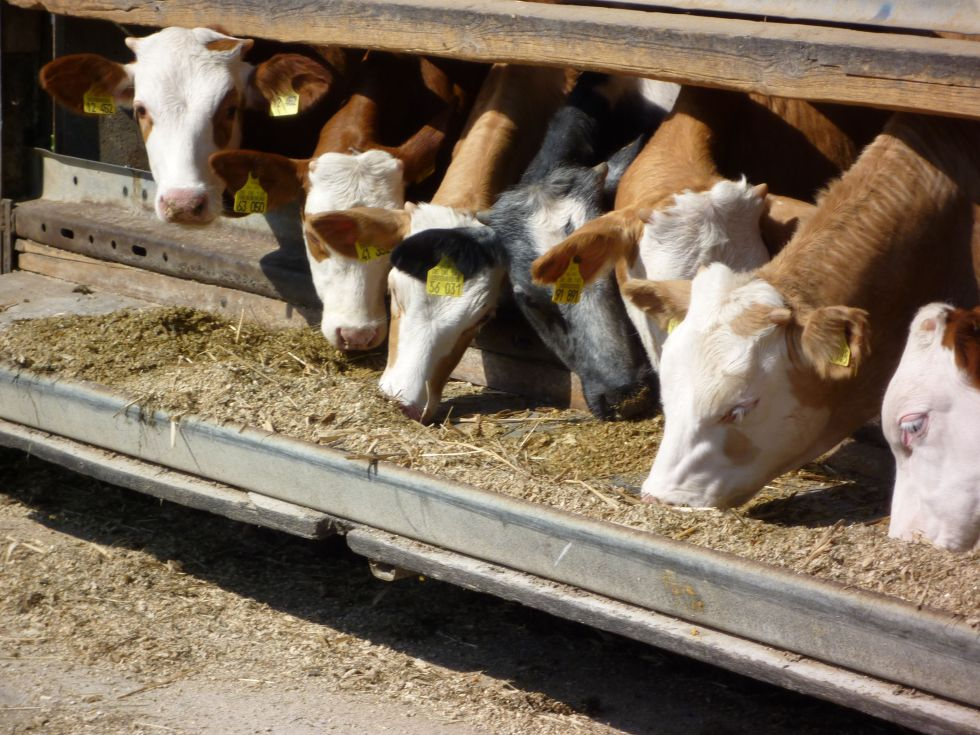 A picture of 7 cows reaching through a gate to reach a trough of corn silage.