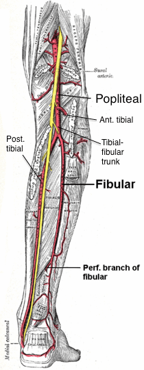 Tibial-fibular trunk - Wikipedia