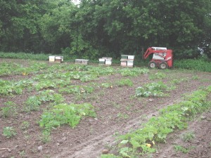 English: Placing honeybees for pumpkin pollina...