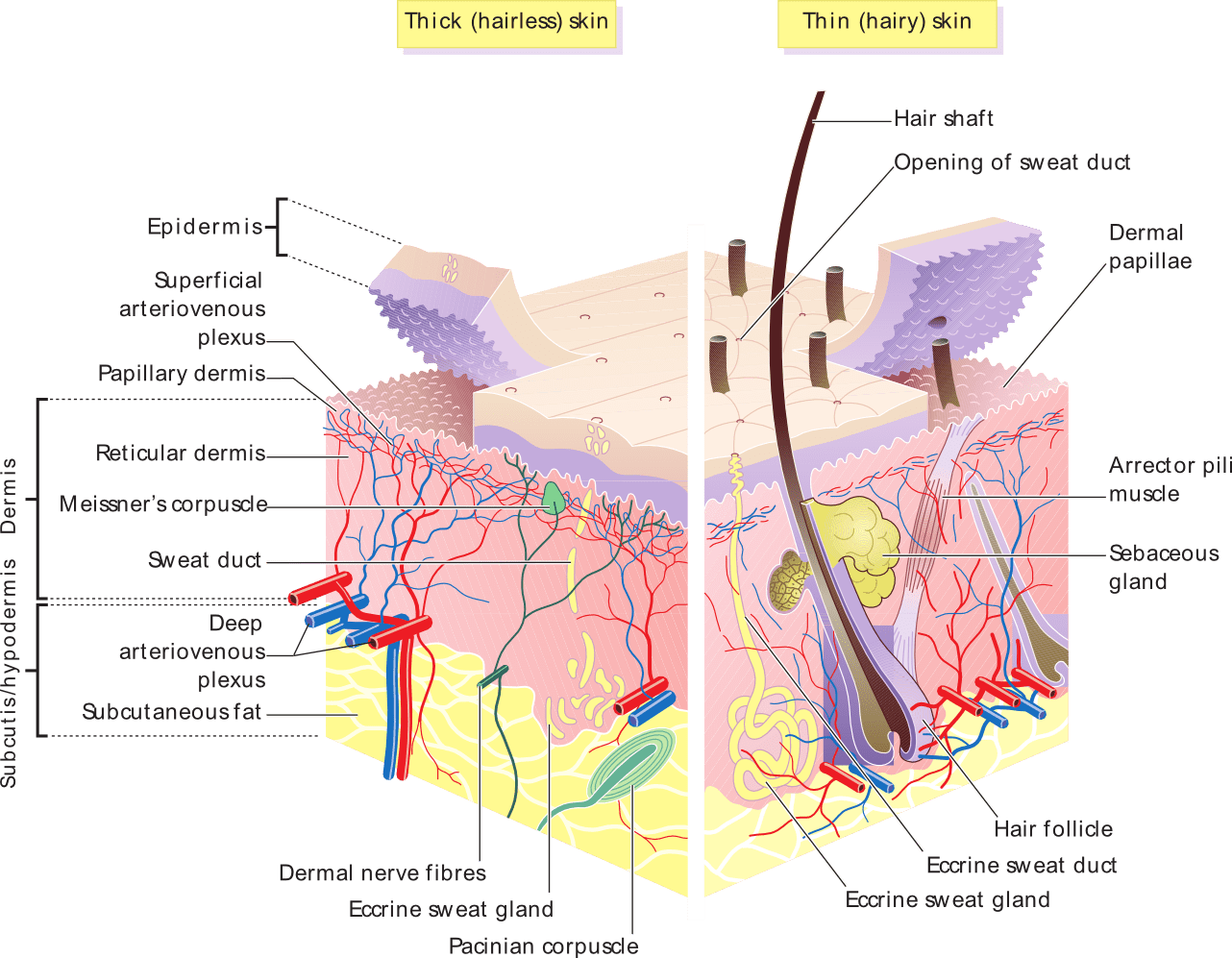 7 layers of skin diagram bell 801 door entry handset wiring the boundless anatomy and physiology located at http upload wikimedia org wikipedia commons 3 36 png