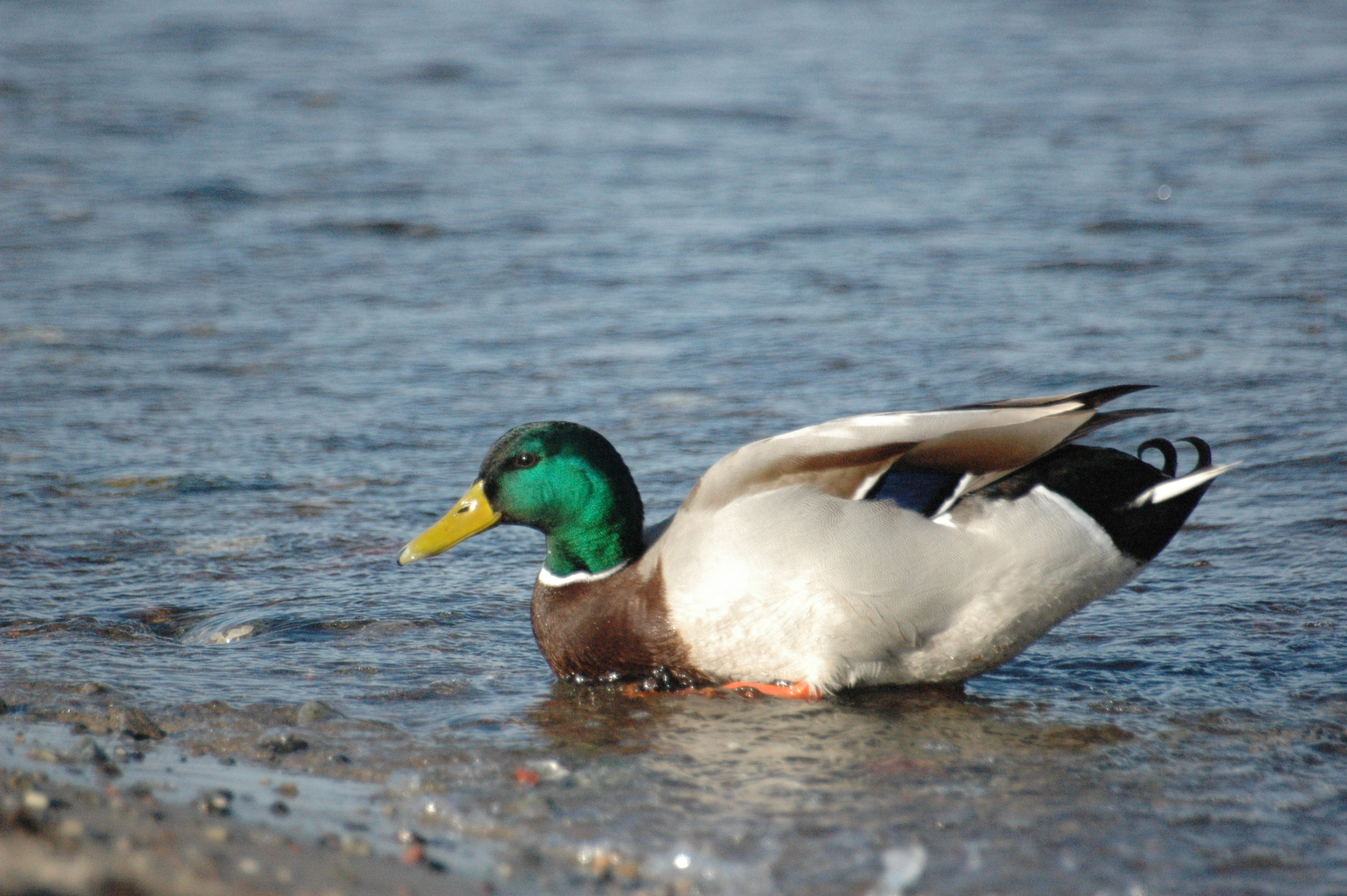 Wild Duck With Avian Flu In Alaska • Mirror Daily