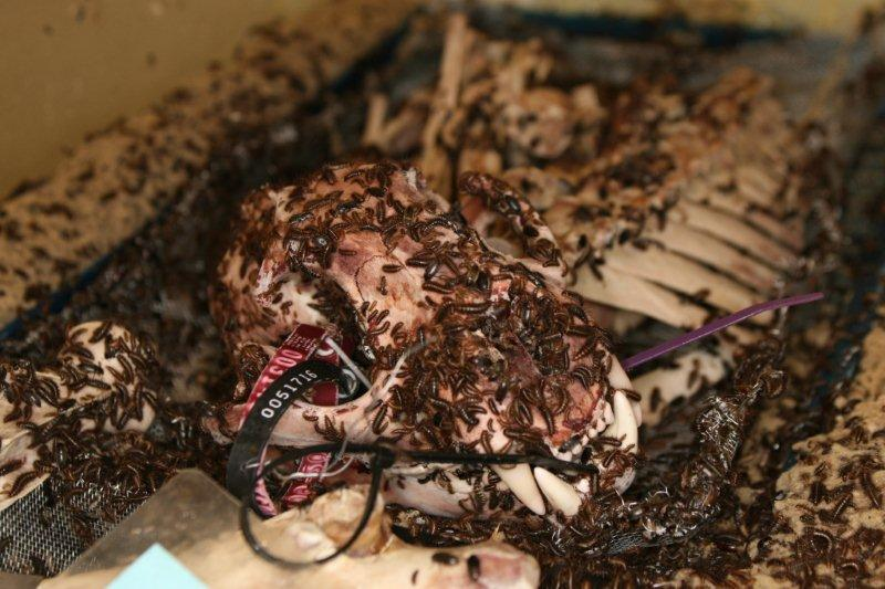 Dermestid Beetles Cleaning a Skull