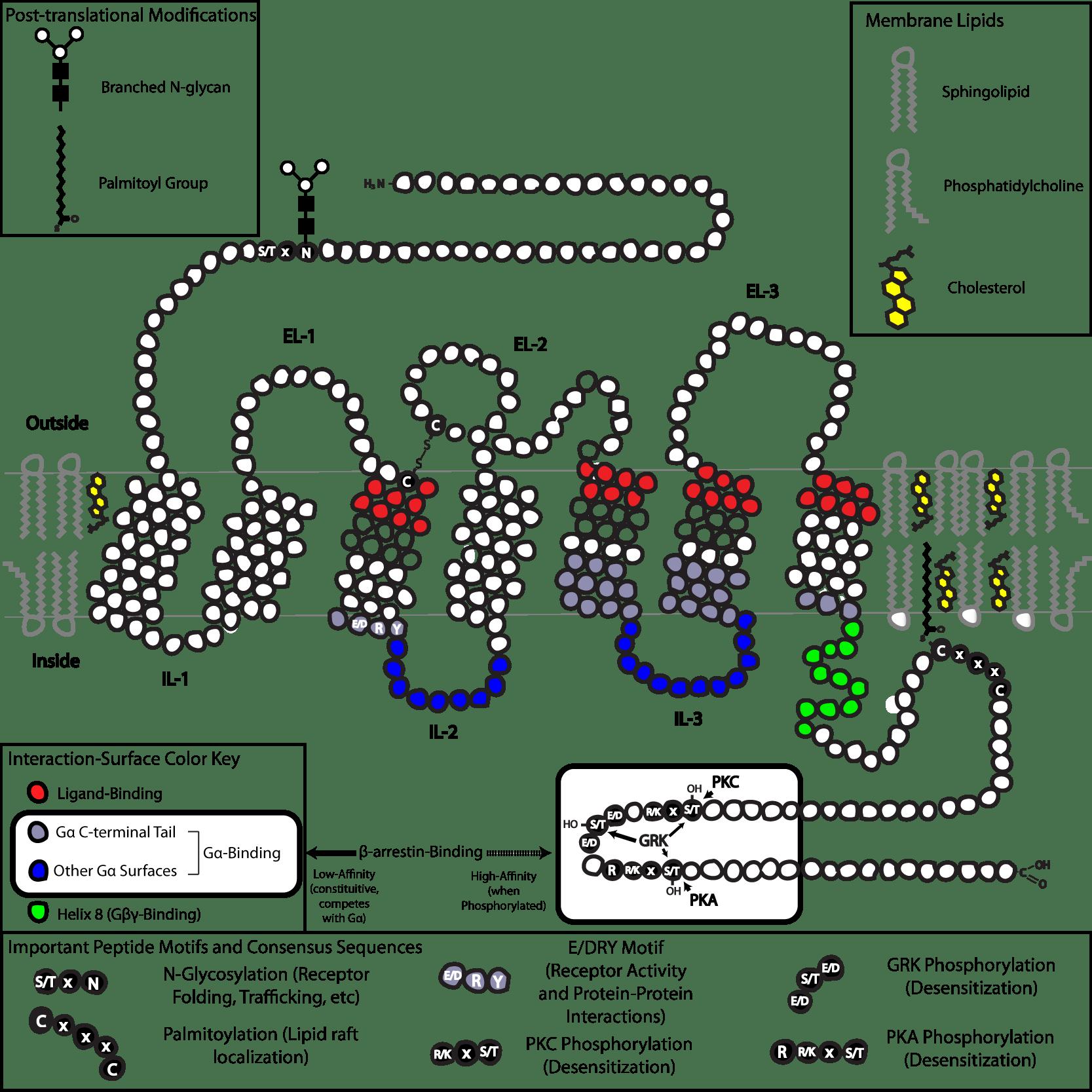 Schematic Of Plasma Membrane