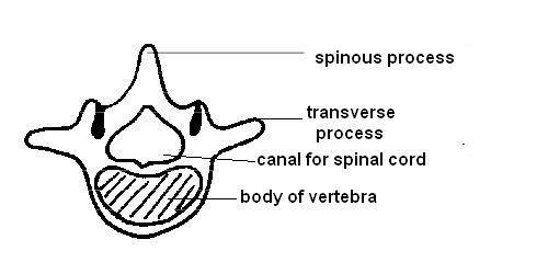 vertebrae diagram blank parts of a church anatomy and physiology animals the skeleton wikibooks open vertebra jpg