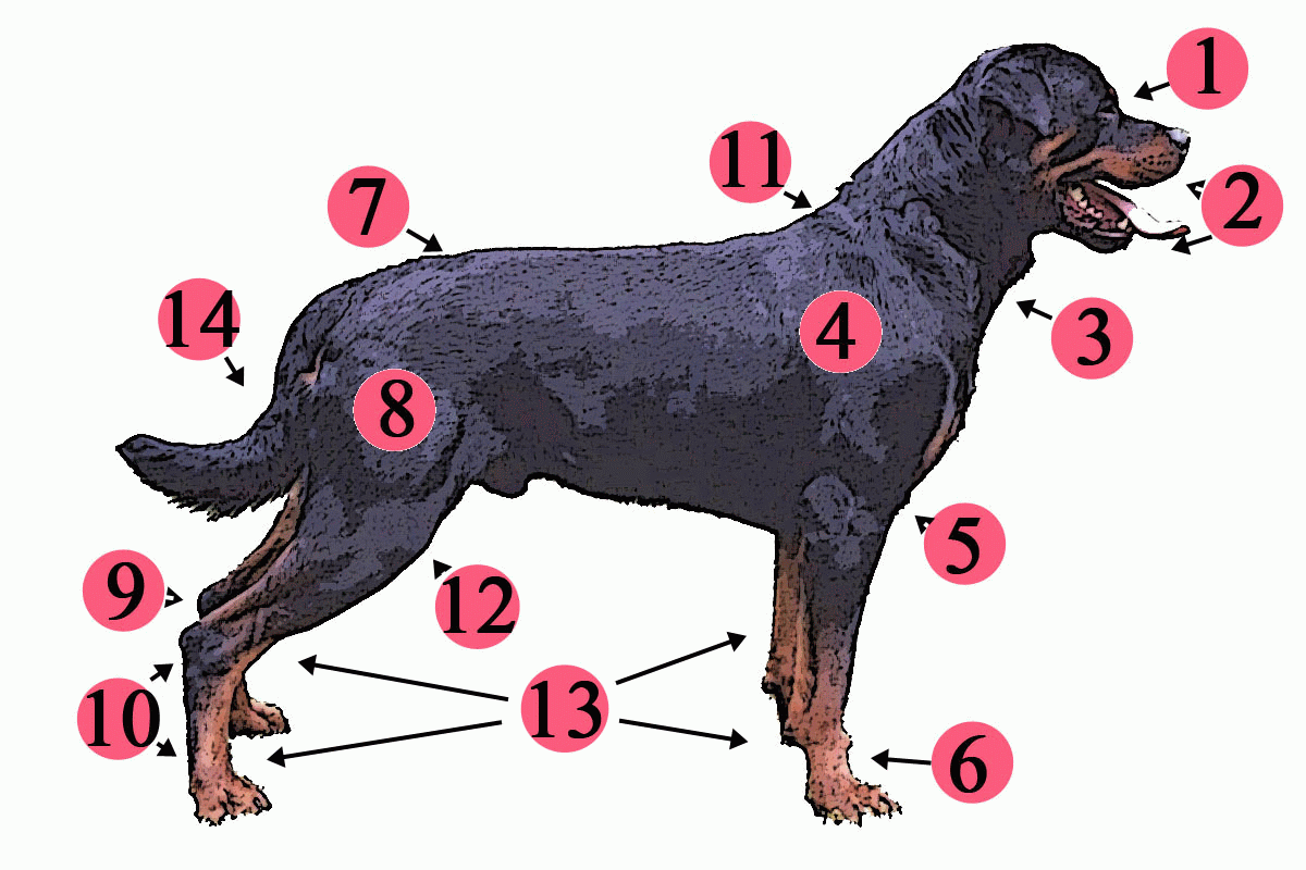 hight resolution of veterinary dog diagram