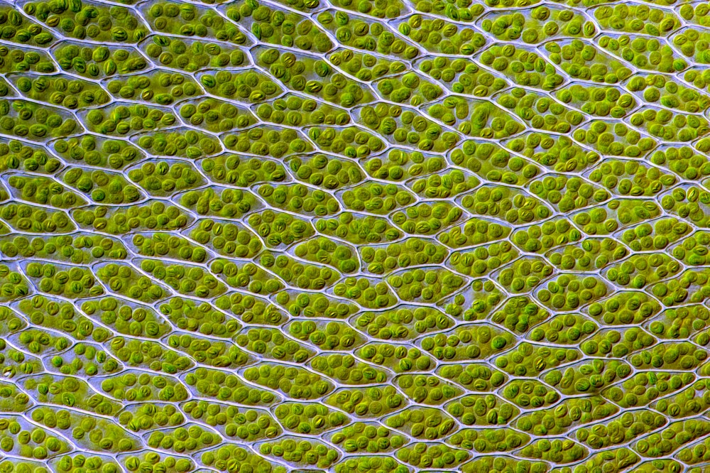 medium resolution of chloroplast