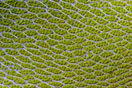 small resolution of chloroplast