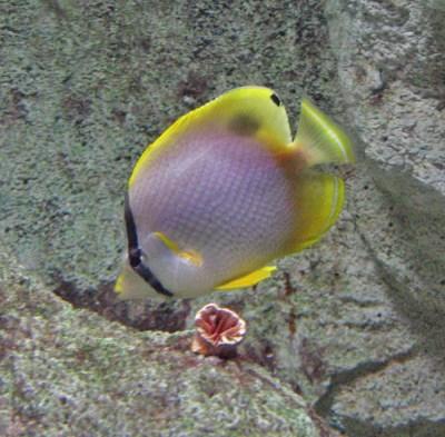 Spotfin butterflyfish - Wikipedia