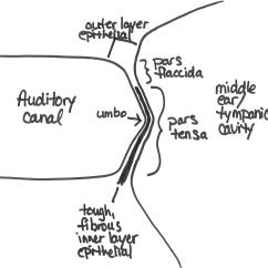 Ear Tympanic Membrane Diagram Ruud Wiring File Png