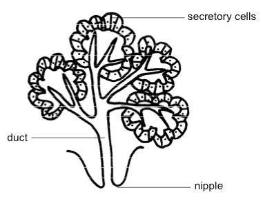 Mammary glands, animal; Mammae; Udder
