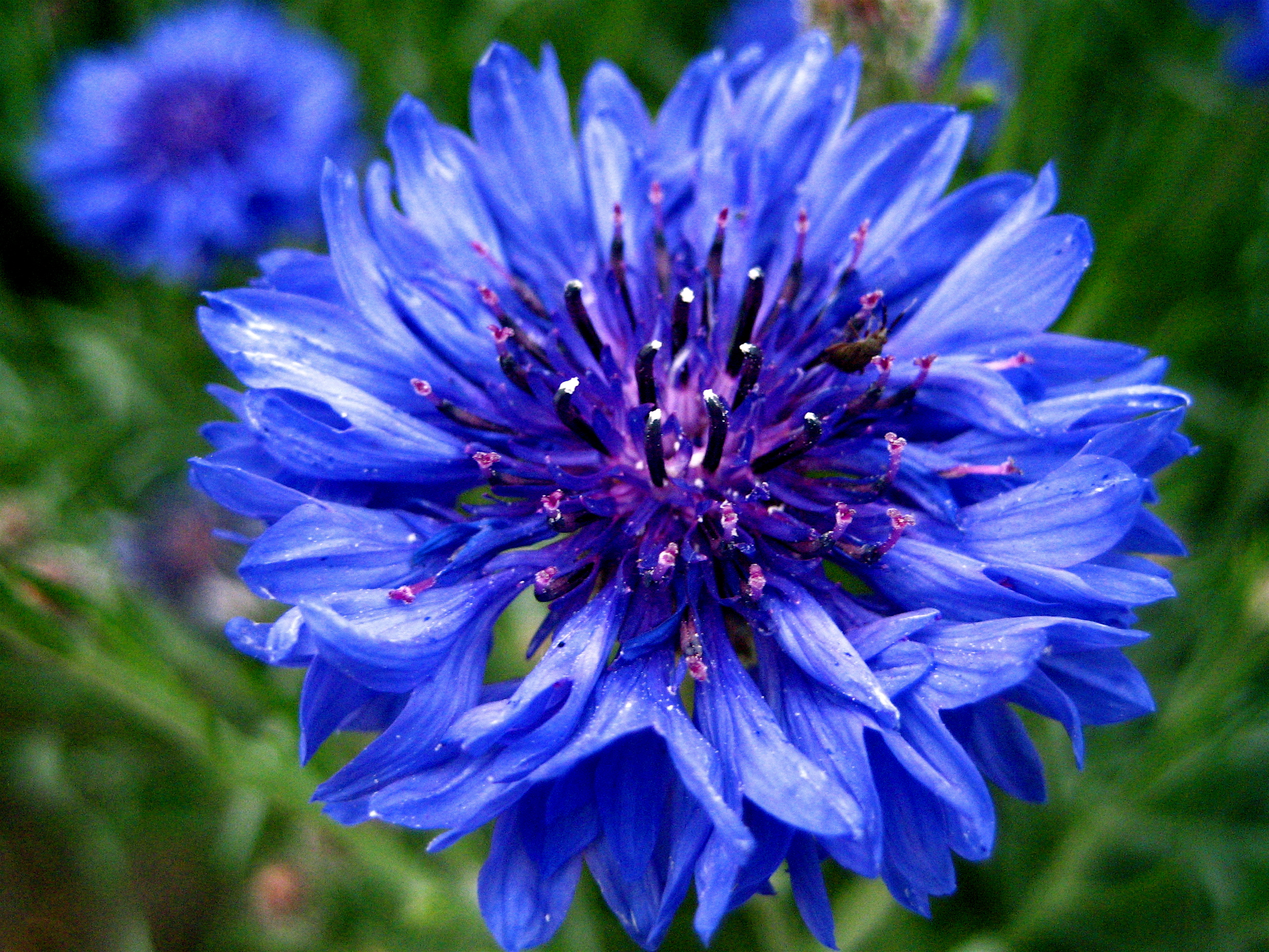 Georgia Girl With An English Heart Blue Flowerssinging