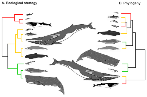 small resolution of file branching diagrams showing the ecological and evolutionary relationships among cetaceans png