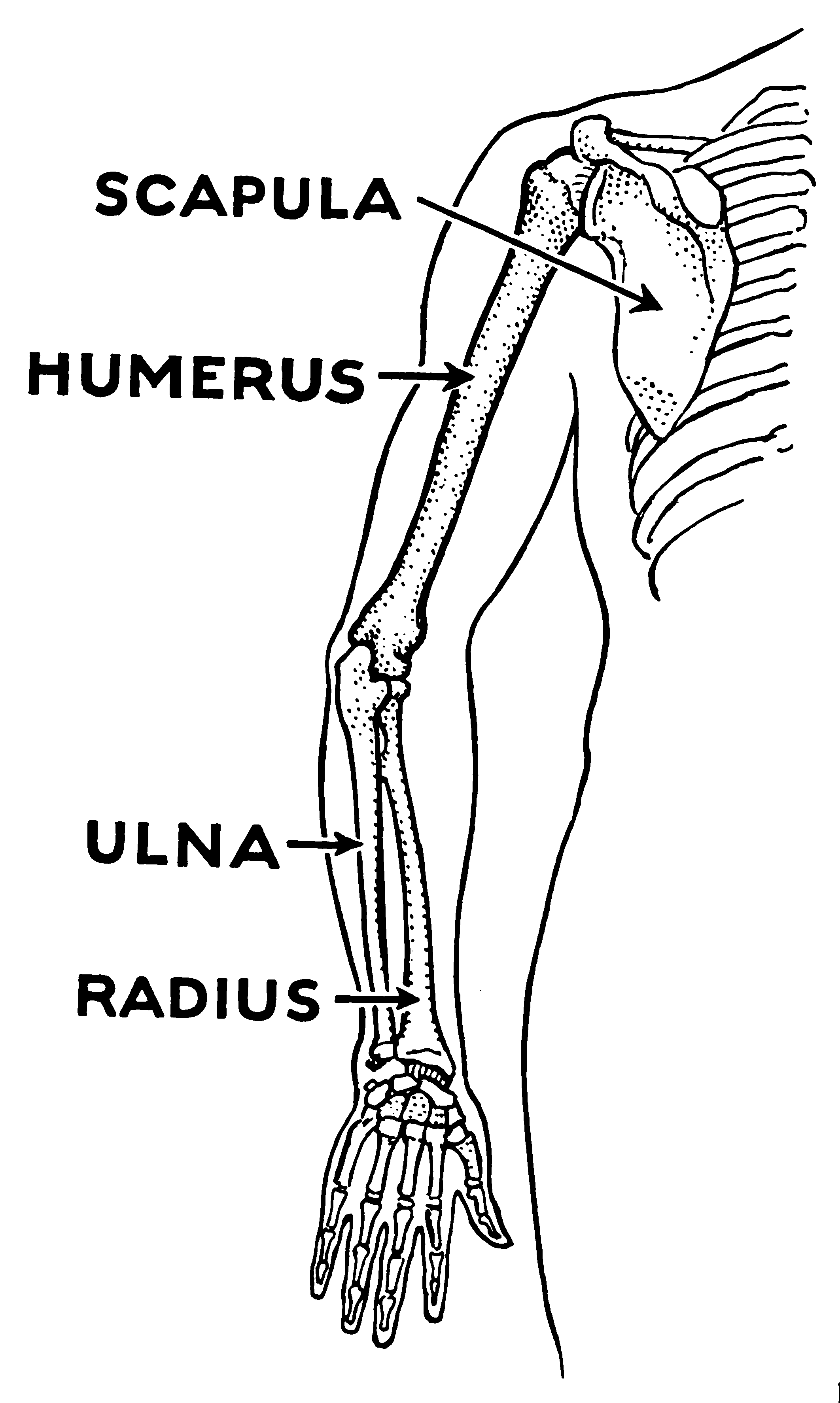 File Humerus Psf