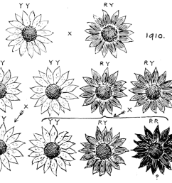diagram of sunflowers wiring diagram portal vintage diagram of sunflower diagram of sunflowers [ 1225 x 942 Pixel ]