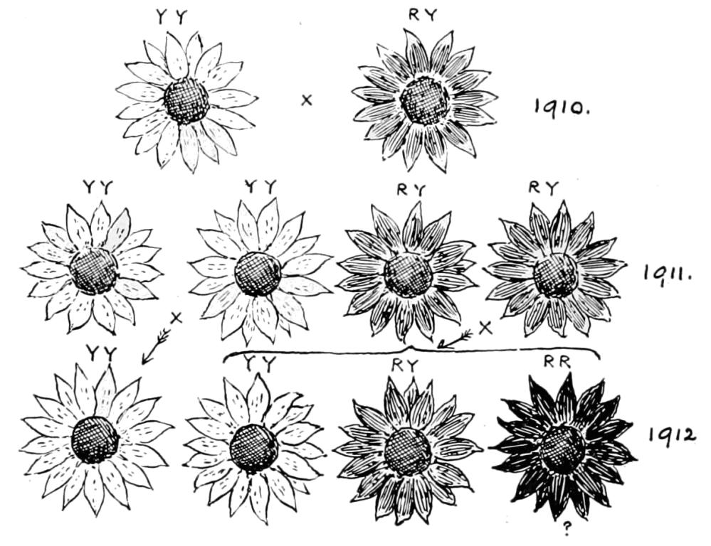 medium resolution of diagram of sunflowers wiring diagram portal vintage diagram of sunflower diagram of sunflowers
