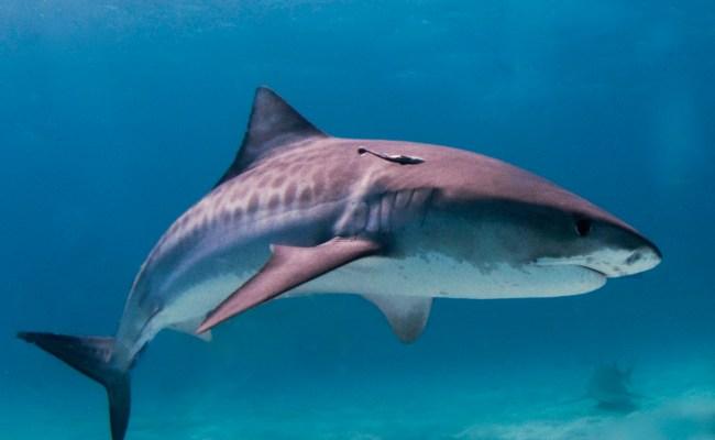 File Tiger Shark Jpg
