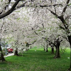 Diagram The Parts Of Cherry Blossom Tree Hengstler Encoder Wiring Local Pros Seasonal Care  What You Need To Do