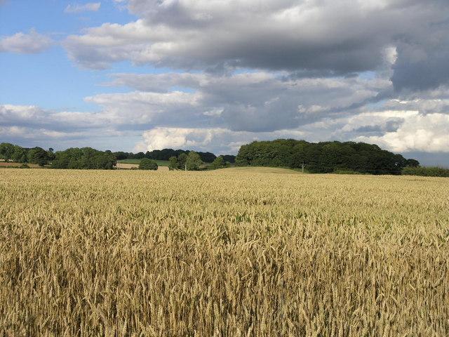 English: Corn Field