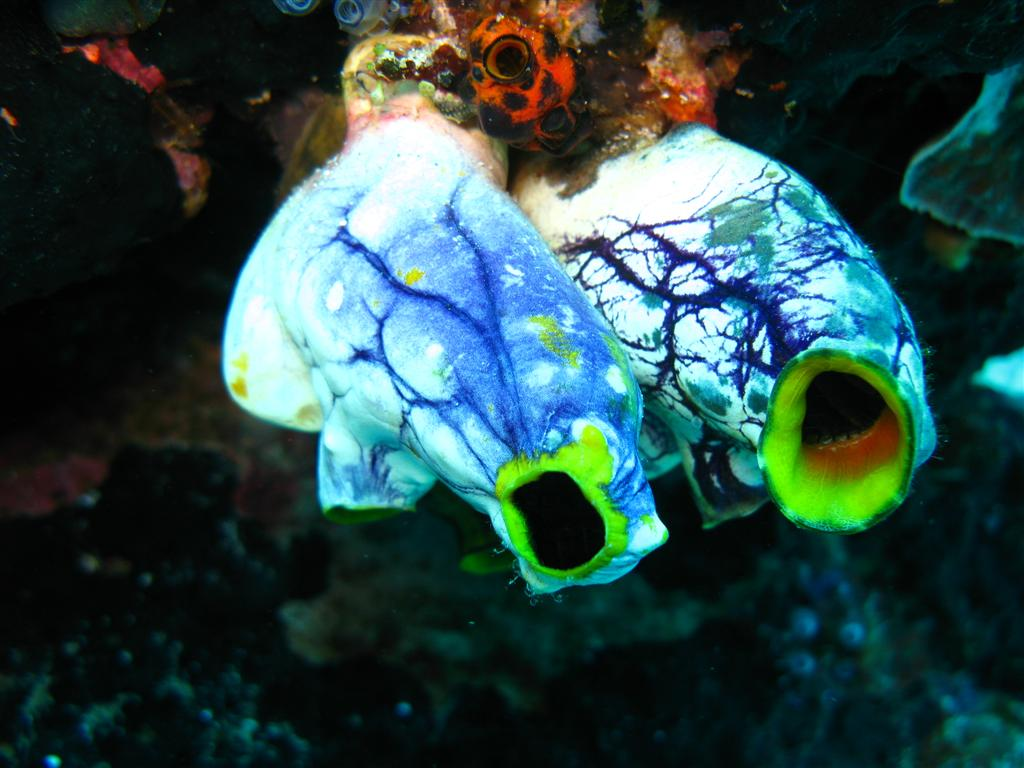 Two sea squirts hanging bulbously from coral, showing dark veination against a light background.